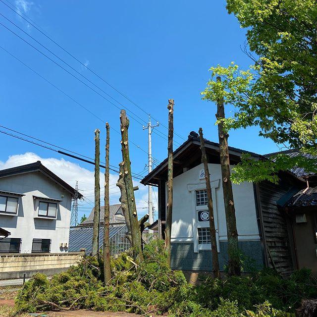 枝葉落とし終了。今から伐倒#伐採#特殊伐採#林業#石川県#白山市#鶴来#なかの林業