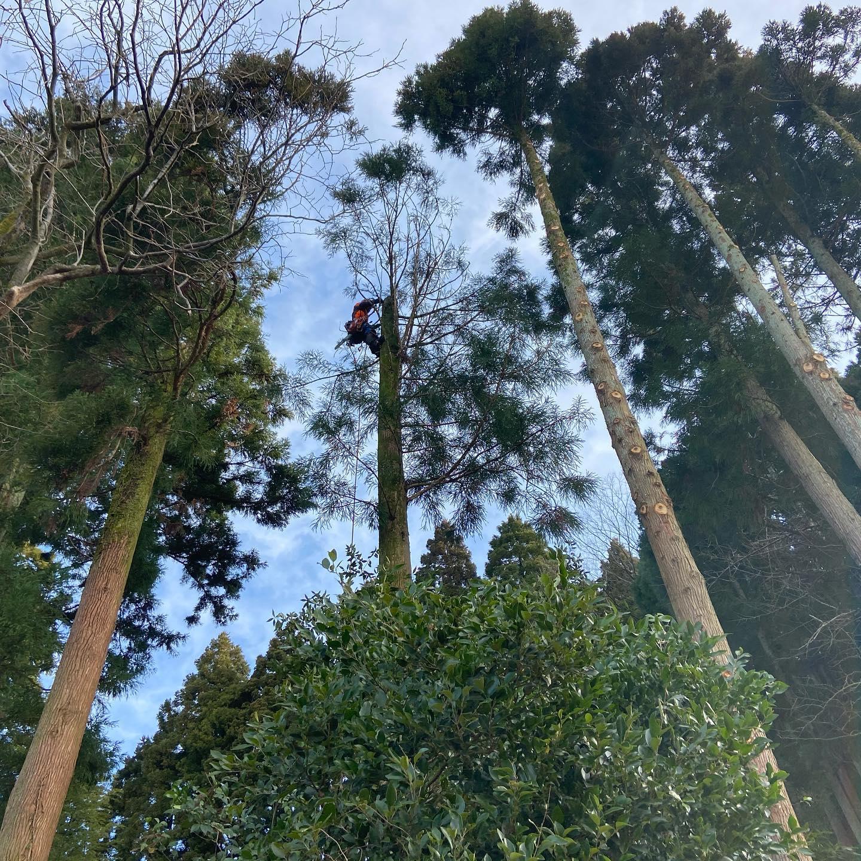 レッカー作業️追加も合わせてスギ26本伐採しました。丸太の運搬、仕分、枝葉の積込、処分等々明日も引き継き行います#伐採#特殊伐採#林業#石川県#白山市#鶴来#なかの林業